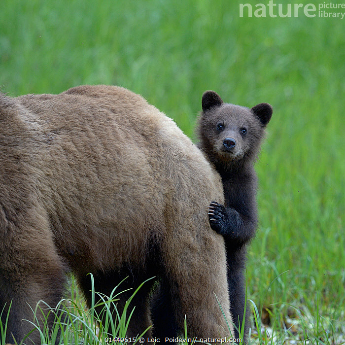 Grizzly bear (Ursus arctos horribilis) cub peering out from behind its mother, Khutzeymateen Grizzly Bear Sanctuary, British Columbia, Canada, June., catalogue6,Animal,Vertebrate,Mammal,Carnivore,Bear,Brown Bear,Grizzly bear,Animalia,Animal,Wildlife,Vertebrate,Chordate,Mammalia,Mammal,Carnivora,Carnivore,Ursidae,Bear,Ursus,Ursus arctos,Brown Bear,Hiding,Standing,Touching,Touch,Relationship,Bonding,Uncertain,Indecisive,Unsure,Two,No One,Nobody,Part Of,Americas,North America,Canada,British Columbia,Close Up,Young Animal,Juvenile,Babies,Baby Mammal,Baby Mammals,Cub,Animal Limbs,Limb,Limbs,Animal Legs,Legs,Leg,Hind Leg,Hind Legs,Outdoors,Open Air,Outside,Day,Family,Mother baby,Mother baby,mother,Young,Grizzly bear,Protected area,Standing on hind legs,Baby,Two animals,Bear Sanctuary, Loic  Poidevin