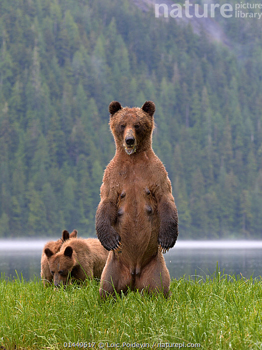 Female Grizzly bear (Ursus arctos horribilis) standing up, with two cubs nearby, Khutzeymateen Grizzly Bear Sanctuary, British Columbia, Canada, June.  ,  catalogue6,Animal,Vertebrate,Mammal,Carnivore,Bear,Brown Bear,Grizzly bear,Animalia,Animal,Wildlife,Vertebrate,Chordate,Mammalia,Mammal,Carnivora,Carnivore,Ursidae,Bear,Ursus,Ursus arctos,Brown Bear,Standing Up,Standing,Alertness,Alert,Protection,Few,Three,Group,No One,Nobody,Americas,North America,Canada,British Columbia,Full Length,Full Lengths,Whole,Young Animal,Juvenile,Babies,Baby Mammal,Baby Mammals,Cub,Female animal,Outdoors,Open Air,Outside,Day,Woodland,Freshwater,Lake,Forest,Family,Mother baby,Mother baby,mother,Young,Grizzly bear,Protected area,Standing on hind legs,Lakeside,Baby,Direct Gaze,Parent baby,Three Animals,Bear Sanctuary  ,  Loic  Poidevin