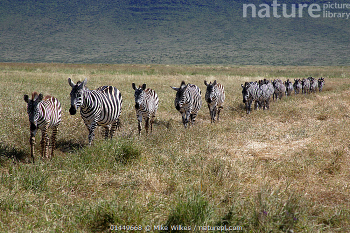 Burchell's zebra (Equus quagga burchellii) walking in single file, Ngorongoro Crater,Tanzania, catalogue6,Animal,Vertebrate,Mammal,Odd toed ungulate,Common Zebra,Animalia,Animal,Wildlife,Vertebrate,Chordate,Mammalia,Mammal,Perissodactyla,Odd toed ungulate,Equidae,Equus,Equus quagga,Common Zebra,Burchell&#39,s Zebra,Painted Zebra,Plains Zebra,Equus burchelli,Moving After,Following,Follow,Follows,Walking,Leadership,Obedience,On The Move,Arrangement,In A Row,Many,Group,Large Group,No One,Nobody,Pattern,Patterned,Patterns,Stripes,Africa,East Africa,Tanzania,Hill,Hills,Hillside,Hillsides,Outdoors,Open Air,Outside,Day,Moving,Animal marking,Progression,Lined up,Upward,Single File,Ngorongoro Crater, Mike Wilkes