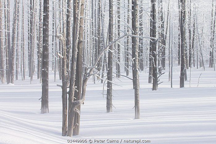 Calcified trees at Tangled Creek in winter, Yellowstone National Park, Wyoming, USA, February 2013., catalogue6,Repetition,Group,Large Group,Many,No One,Nobody,Americas,North America,USA,Western USA,Wyoming,Plant,Tree,Bare Tree,Bare Trees,Light,Lights,Shadow,Sunlight,Snow,Outdoors,Open Air,Outside,Season,Seasons,Winter,Day,Woodland,Reserve,Protected area,National Park,Yellowstone National Park,Large Group of Objects,Calcified,Tangled Creek, Peter Cairns