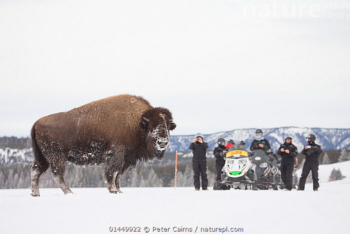 Tourists watching American bison (Bison bison) Yellowstone National Park, Wyoming, USA, February 2013.  ,  catalogue6,Animal,Vertebrate,Mammal,Bovid,Bison,American Bison,Animalia,Animal,Wildlife,Vertebrate,Chordate,Mammalia,Mammal,Artiodactyla,Even toed ungulates,Bovidae,Bovid,ruminantia,Ruminant,Bison,Bison bison,American Bison,American buffalo,Standing,Leisure,Outdoor Pursuit,People,Male,Man,Incidental People,Incidental Person,People In The Background,Background People,Background Person,People In Background,Person In Background,Group,Group Of People,Medium Group Of People,Temperature,Cold,Chill,Chilly,Americas,North America,USA,Western USA,Wyoming,Copy Space,Full Length,Full Lengths,Whole,Plain Background,White Background,Profile,Side View,Mode Of Transport,Land Vehicle,Snow Vehicle,Snowmobile,Snow,Landscape,Landscapes,Outdoors,Open Air,Outside,Season,Seasons,Winter,Day,Travel,Vacations,Tourism,Habitat,Reserve,Protected area,National Park,Negative space,Yellowstone National Park  ,  Peter Cairns