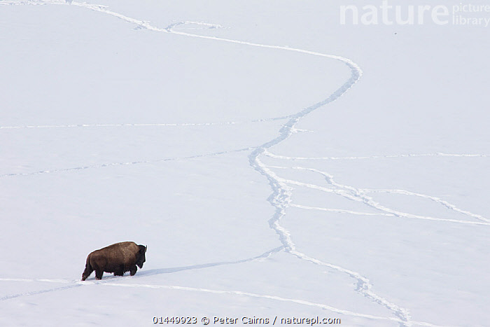 American bison (Bison bison) walking through snow using tracks made by other animals, Yellowstone National Park, Wyoming, USA, February.  ,  catalogue6,Animal,Vertebrate,Mammal,Bovid,Bison,American Bison,Animalia,Animal,Wildlife,Vertebrate,Chordate,Mammalia,Mammal,Artiodactyla,Even toed ungulates,Bovidae,Bovid,ruminantia,Ruminant,Bison,Bison bison,American Bison,American buffalo,Walking,Journey,Journeys,Perseverance,Persevere,Perseverence,Alone,Solitude,Solitary,No One,Nobody,Temperature,Cold,Chill,Chilly,Americas,North America,USA,Western USA,Wyoming,Copy Space,Plain Background,White Background,High Angle View,Hill,Hills,Hillside,Hillsides,Snow,Outdoors,Open Air,Outside,Season,Seasons,Winter,Day,Habitat,Animal Behaviour,Reserve,Behaviour,Protected area,National Park,Elevated view,Negative space,Yellowstone National Park,Upward  ,  Peter Cairns