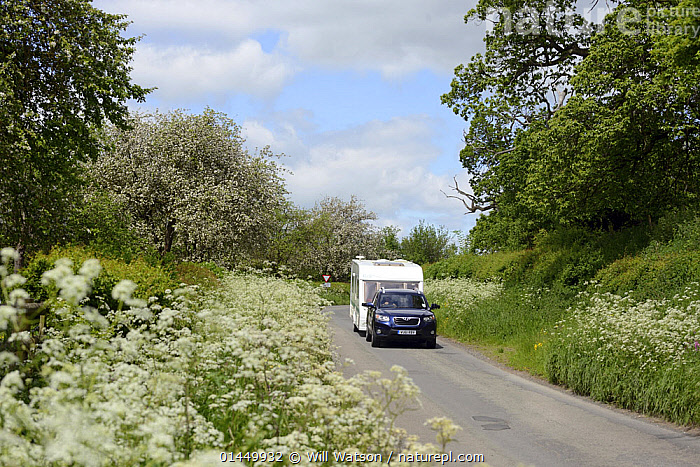Car towing caravan down road with verge of flowering Cow Parsley (Anthriscus sylvestris) and flowering cider apple trees in background, Herefordshire, UK, June.  ,  PLANT,VASCULAR PLANT,FLOWERING PLANT,ROSID,APPLE,CULTIVATED APPLE TREE,ASTERID,CARROT FAMILY,CHERVIL,PLANTAE,PLANT,TRACHEOPHYTA,VASCULAR PLANT,MAGNOLIOPSIDA,FLOWERING PLANT,ANGIOSPERM,SEED PLANT,SPERMATOPHYTE,SPERMATOPHYTINA,ANGIOSPERMAE,ROSALES,ROSID,DICOT,DICOTYLEDON,ROSANAE,ROSACEAE,MALUS,APPLE,APPLE TREE,MALUS DOMESTICA,CULTIVATED APPLE TREE,PYRUS MALUS VAR. MITIS,MALUS SYLVESTRIS ORIENTALIS,APIALES,ASTERID,ASTERANAE,APIACEAE,CARROT FAMILY,PARSLEY FAMILY,UMBELLIFERAE,ANTHRISCUS,CHERVIL,EUROPE,WESTERN EUROPE,WEST EUROPE,UK,BRITAIN,GREAT BRITAIN,UNITED KINGDOM,ENGLAND,HEREFORDSHIRE,PLANTS,VEGETATION,BLOOM,BLOOMING,BLOOMS,FLOWERING,FLOWERING PLANT,FLOWERING PLANTS,FLOWERS,TREE,TREES,ROADSIDE,ROADSIDES,THOROUGHFARE,ROAD,ROADS,ROADWAY,ROADWAYS,MODE OF TRANSPORT,VEHICLE,VEHICLES,LAND VEHICLE,LAND VEHICLES,MOTOR VEHICLE,AUTOMOTIVE,MOTORIZED LAND VEHICLES,MOBILE HOME,CARAVAN,CARAVANS,MOBILE HOMES,RECREATIONAL VEHICLE,RECREATIONAL VEHICLES,RV,RVS,TRAILER HOME,TRAILER HOMES,TRAILER,TRAILERS,TRAILOR HOME,TRAILOR HOMES,CAR,AUTO,AUTOMOBILE,AUTOMOBILES,AUTOS,CARS,VERGES,VERGE,EDIBLE,FRUIT,FRUITS  ,  Will Watson