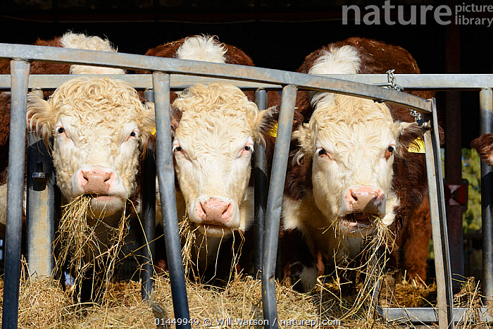 Three Hereford bullocks feeding on hay, Herefordshire Plateau, England, April.  ,  catalogue6,Tame,Docile,Side By Side,Few,Three,Group,No One,Nobody,Europe,Western Europe,UK,Great Britain,England,Herefordshire,Front View,View From Front,Animal,Male Animal,Plant,Arable Plant,Arable Plants,Crops,Produce,Cultivated,Cultivation,Hay,Building,Agricultural Building,Barn,Barns,Outdoors,Open Air,Outside,Day,Feeding,Domestic animal,Cow,Cows,Domestic animals,Domesticated,Bos,Direct Gaze,Three Animals,Fodder,Bullock,United Kingdom,,eye contact,  ,  Will Watson