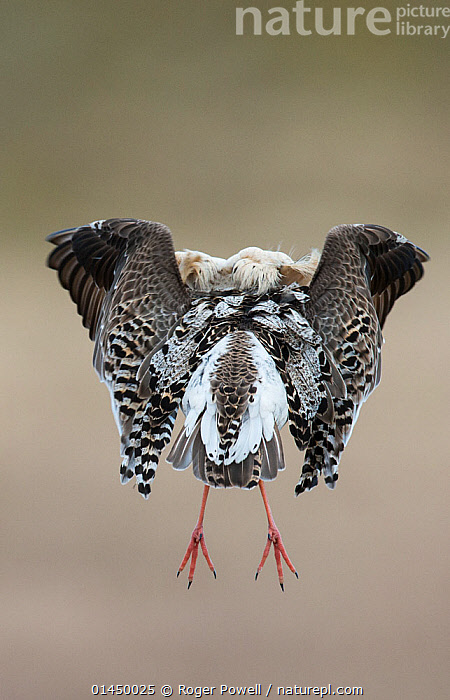 Rear view of Ruff (Philomachus pugnax) in full display at the lek.  Varanger, Finmark, Norway, May., catalogue6,Animal,Vertebrate,Birds,Sandpiper,Ruff,Animalia,Animal,Wildlife,Vertebrate,Chordate,Aves,Birds,Charadriiformes,Scolopacidae,Sandpiper,Wader,Shorebird,Philomachus,Philomachus pugnax,Ruff,Jumping,Bizarre,Colour,Black,Mid Air,No One,Nobody,Europe,Northern Europe,North Europe,Nordic Countries,Scandinavia,Norway,Rear View,Back,From Behind,Male Animal,Feather,Feathers,Outdoors,Open Air,Outside,Day,Animal Behaviour,Display,Behaviour,Displaying,Plumage,Departure,Finnmark,Varanger,Communication, Roger Powell