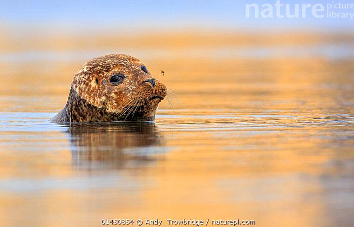 Common / Harbour seal (Phoca vitulina) looking out of water with bee hovering above its nose. Shetland Islands, Scotland, UK, July., catalogue6,Animal,Vertebrate,Mammal,Carnivore,True seal,Common Seal,Animalia,Animal,Wildlife,Vertebrate,Chordate,Mammalia,Mammal,Carnivora,Carnivore,Phocidae,True seal,Pinnipeds,pinnipedia,Phoca,Phoca vitulina,Common Seal,Harbor Seal,Harbour Seal,Glance,Glances,Glancing,Look Away,Looks Away,Anger,Annoy,Annoyed,Annoying,Suspicion,Two,No One,Nobody,Europe,Western Europe,UK,Great Britain,Scotland,Shetland,Profile,Horizontal,Side View,Surface View,Surface Views,Portrait,Outdoors,Open Air,Outside,Day,Marine,Water Surface,Temperate,Saltwater,Water level,Two animals,Aggravating,Marine,Mammals,CARNIVORES ,United Kingdom, Andy  Trowbridge