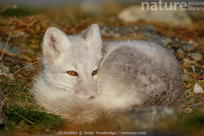 RF- Arctic Fox (Alopex lagopus) curled up, resting, during moult from grey summer fur to winter white. Dovrefjell National Park, Norway, September. Dovrefjell National Park, Norway, September. (This image may be licensed either as rights managed or royalty free.)  ,  Animal,Vertebrate,Mammal,Carnivore,Canid,True fox,Arctic fox,Animalia,Animal,Wildlife,Vertebrate,Mammalia,Mammal,Carnivora,Carnivore,Canidae,Canid,Vulpes,True fox,Vulpini,Caninae,Vulpes lagopus,Arctic fox,Polar fox,Blue fox,Ice fox,White fox,Alopex lagopus,Canis lagopus,Resting,Rest,Alertness,Nobody,Europe,Northern Europe,North Europe,Nordic Countries,Scandinavia,Norway,Horizontal,Close Up,Hair,Fur,Outdoors,Day,Nature,Wild,Animal Behaviour,Reserve,Behaviour,Moult,Protected area,National Park,Curled up,Dovrefjell National Park,Animal Hair,RF,Royalty free,RFCAT1,RF17Q1,  ,  Andy Trowbridge