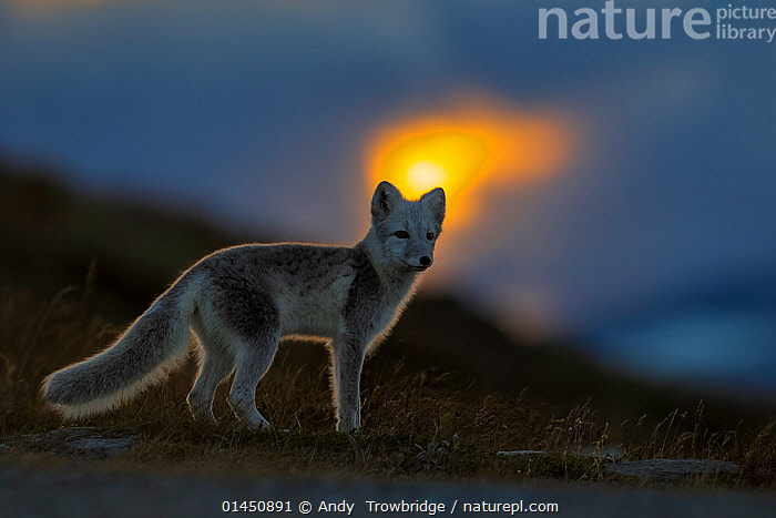 Arctic Fox (Alopex / Vulpes lagopus) at sunset, during moult from grey summer fur to winter white. Dovrefjell National Park, Norway, September., catalogue6,Animal,Vertebrate,Mammal,Carnivore,Canid,True fox,Arctic fox,Animalia,Animal,Wildlife,Vertebrate,Chordate,Mammalia,Mammal,Carnivora,Carnivore,Canidae,Canid,Vulpes,True fox,Vulpini,Caninae,Vulpes lagopus,Arctic fox,Polar fox,Blue fox,Ice fox,White fox,Alopex lagopus,Canis lagopus,Standing,Alertness,Alert,Colour,Yellow,No One,Nobody,Luminosity,Glow,Glows,Europe,Northern Europe,North Europe,Nordic Countries,Scandinavia,Norway,Full Length,Full Lengths,Whole,Horizontal,Side View,Sunset,Setting Sun,Sunsets,Outdoors,Open Air,Outside,Twilight,Evening,Night,Animal Behaviour,Behaviour,Moults,Moult,Molting,Protected area,National Park,Dusk,Dovrefjell National Park, Andy  Trowbridge