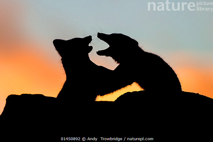 Arctic Foxes (Alopex / Vulpes lagopus) play fighting, silhouetted against a colourful sky at sunset. Dovrefjell National Park, Norway, September., ANIMAL,VERTEBRATE,MAMMAL,CARNIVORE,CANID,TRUE FOX,ARCTIC FOX,ANIMALIA,ANIMAL,WILDLIFE,VERTEBRATE,CHORDATE,MAMMALIA,MAMMAL,CARNIVORA,CARNIVORE,CANIDAE,CANID,VULPES,TRUE FOX,VULPINI,CANINAE,VULPES LAGOPUS,ARCTIC FOX,POLAR FOX,BLUE FOX,ICE FOX,WHITE FOX,ALOPEX LAGOPUS,CANIS LAGOPUS,EUROPE,NORTHERN EUROPE,NORTH EUROPE,NORDIC COUNTRIES,SCANDINAVIA,SKANDINAVIA,NORWAY,HORIZONTAL,SUNSET,SETTING SUN,SUNSETS,ANIMAL BEHAVIOUR,PLAYING,SILHOUETTE,BEHAVIOUR,PLAYS,PLAY,PLAYFUL,PROTECTED AREA,NATIONAL PARK,NP,RESERVE,DUSK,Communication, Andy  Trowbridge