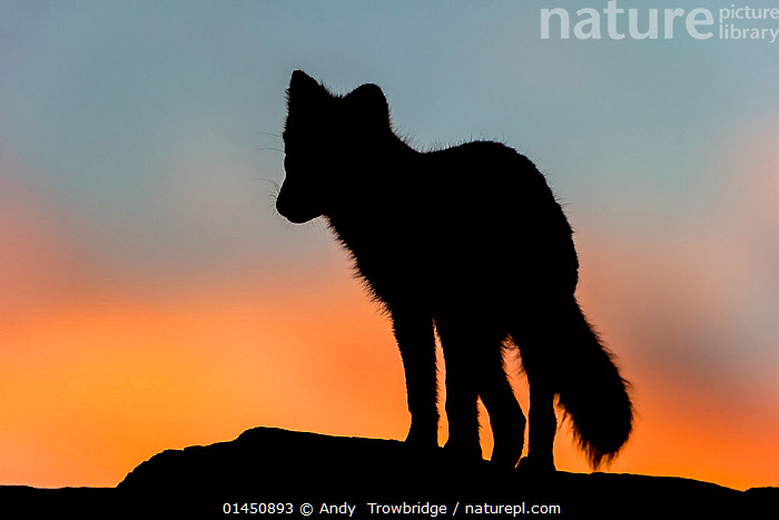 Arctic Fox (Alopex / Vulpes lagopus) standing on rock, silhouetted against a colourful sky at sunset. Dovrefjell National Park, Norway, September., ANIMAL,VERTEBRATE,MAMMAL,CARNIVORE,CANID,TRUE FOX,ARCTIC FOX,ANIMALIA,ANIMAL,WILDLIFE,VERTEBRATE,CHORDATE,MAMMALIA,MAMMAL,CARNIVORA,CARNIVORE,CANIDAE,CANID,VULPES,TRUE FOX,VULPINI,CANINAE,VULPES LAGOPUS,ARCTIC FOX,POLAR FOX,BLUE FOX,ICE FOX,WHITE FOX,ALOPEX LAGOPUS,CANIS LAGOPUS,EUROPE,NORTHERN EUROPE,NORTH EUROPE,NORDIC COUNTRIES,SCANDINAVIA,SKANDINAVIA,NORWAY,HORIZONTAL,SUNSET,SETTING SUN,SUNSETS,SILHOUETTE,PROTECTED AREA,NATIONAL PARK,NP,RESERVE,DUSK, Andy  Trowbridge