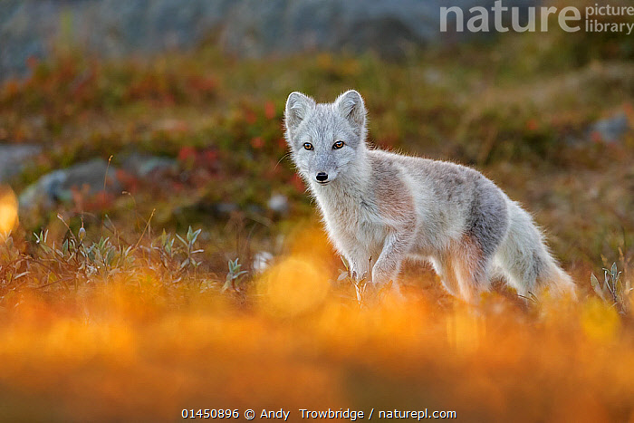 Arctic Fox (Alopex / Vulpes lagopus) portrait in early morning light, during moult from grey summer fur to winter white. Dovrefjell National Park, Norway, September., catalogue6,Animal,Vertebrate,Mammal,Carnivore,Canid,True fox,Arctic fox,Animalia,Animal,Wildlife,Vertebrate,Chordate,Mammalia,Mammal,Carnivora,Carnivore,Canidae,Canid,Vulpes,True fox,Vulpini,Caninae,Vulpes lagopus,Arctic fox,Polar fox,Blue fox,Ice fox,White fox,Alopex lagopus,Canis lagopus,Alertness,Alert,Morning,Mornings,Stealth,Colour,Grey,Gray,No One,Nobody,Europe,Northern Europe,North Europe,Nordic Countries,Scandinavia,Norway,Horizontal,Portrait,Camera Focus,Selective Focus,Focus On Background,Focus On Backgrounds,Outdoors,Open Air,Outside,Day,Animal Behaviour,Behaviour,Moults,Moult,Molting,Protected area,National Park,Shallow depth of field,Low depth of field,Dovrefjell National Park, Andy  Trowbridge