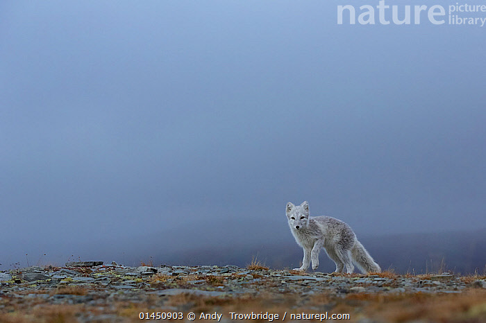 Arctic Fox (Alopex / Vulpes lagopus) standing on ridge, mist/fog in the background. Dovrefjell National Park, Norway, September., catalogue6,Animal,Vertebrate,Mammal,Carnivore,Canid,True fox,Arctic fox,Animalia,Animal,Wildlife,Vertebrate,Chordate,Mammalia,Mammal,Carnivora,Carnivore,Canidae,Canid,Vulpes,True fox,Vulpini,Caninae,Vulpes lagopus,Arctic fox,Polar fox,Blue fox,Ice fox,White fox,Alopex lagopus,Canis lagopus,Leg Raised,Legs Raised,Raised Leg,Raised Legs,Raising Leg,Raising Legs,Standing,Alertness,Alert,Alone,Solitude,Solitary,No One,Nobody,Ridge,Ridges,Europe,Northern Europe,North Europe,Nordic Countries,Scandinavia,Norway,Copy Space,Horizontal,Mist,Outdoors,Open Air,Outside,Day,Protected area,National Park,Negative space,Dovrefjell National Park, Andy  Trowbridge