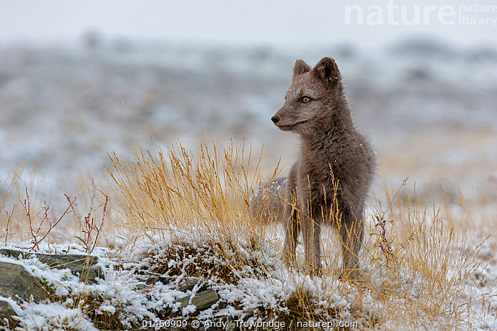 Arctic Fox cub (Alopex / Vulpes lagopus) standing in fresh snow, blue morph. Dovrefjell National Park, Norway, September., catalogue6,Animal,Vertebrate,Mammal,Carnivore,Canid,True fox,Arctic fox,Animalia,Animal,Wildlife,Vertebrate,Chordate,Mammalia,Mammal,Carnivora,Carnivore,Canidae,Canid,Vulpes,True fox,Vulpini,Caninae,Vulpes lagopus,Arctic fox,Polar fox,Blue fox,Ice fox,White fox,Alopex lagopus,Canis lagopus,Standing,Alertness,Alert,No One,Nobody,Europe,Northern Europe,North Europe,Nordic Countries,Scandinavia,Norway,Horizontal,Front View,View From Front,Young Animal,Juvenile,Babies,Baby Mammal,Baby Mammals,Cub,Plant,Grass Family,Tall Grass,Long Grass,Tall Grasses,Grass,Grasses,Snow,Outdoors,Open Air,Outside,Winter,Day,Young,Colour morphs,Protected area,National Park,Baby,Dovrefjell National Park,Blue Morph,Plants, Andy  Trowbridge