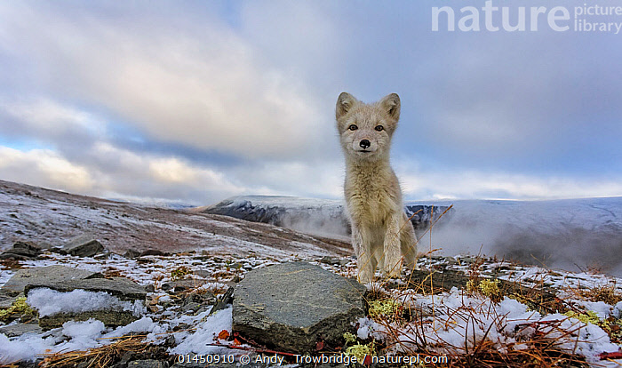 Curious Arctic Fox (Alopex / Vulpes lagopus) wide angle portrait. Dovrefjell National Park, Norway, September., ANIMAL,VERTEBRATE,MAMMAL,CARNIVORE,CANID,TRUE FOX,ARCTIC FOX,ANIMALIA,ANIMAL,WILDLIFE,VERTEBRATE,CHORDATE,MAMMALIA,MAMMAL,CARNIVORA,CARNIVORE,CANIDAE,CANID,VULPES,TRUE FOX,VULPINI,CANINAE,VULPES LAGOPUS,ARCTIC FOX,POLAR FOX,BLUE FOX,ICE FOX,WHITE FOX,ALOPEX LAGOPUS,CANIS LAGOPUS,EUROPE,NORTHERN EUROPE,NORTH EUROPE,NORDIC COUNTRIES,SCANDINAVIA,SKANDINAVIA,NORWAY,HORIZONTAL,PORTRAIT,PROTECTED AREA,NATIONAL PARK,NP,RESERVE, Andy  Trowbridge
