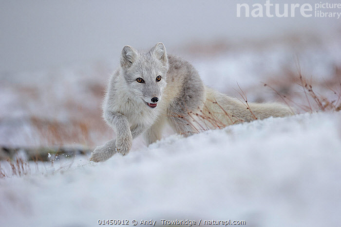 Arctic Fox (Alopex / Vulpes lagopus) hunting in fresh snow, during moult from grey summer fur to winter white. Dovrefjell National Park, Norway, September., catalogue6,Animal,Vertebrate,Mammal,Carnivore,Canid,True fox,Arctic fox,Animalia,Animal,Wildlife,Vertebrate,Chordate,Mammalia,Mammal,Carnivora,Carnivore,Canidae,Canid,Vulpes,True fox,Vulpini,Caninae,Vulpes lagopus,Arctic fox,Polar fox,Blue fox,Ice fox,White fox,Alopex lagopus,Canis lagopus,Running,Agility,Agile,Alertness,Alert,Determination,Focus,Direction,Stealth,No One,Nobody,Europe,Northern Europe,North Europe,Nordic Countries,Scandinavia,Norway,Horizontal,Close Up,Hair,Fur,Hill,Hills,Hillside,Hillsides,Outdoors,Open Air,Outside,Winter,Day,Animal Behaviour,Predation,Hunting,Behaviour,Moults,Moult,Molting,Protected area,National Park,Focused, Andy  Trowbridge