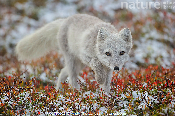 Arctic Fox (Alopex / Vulpes lagopus) portrait, during moult from grey summer fur to winter white. Dovrefjell National Park, Norway, September.  ,  ANIMAL,VERTEBRATE,MAMMAL,CARNIVORE,CANID,TRUE FOX,ARCTIC FOX,ANIMALIA,ANIMAL,WILDLIFE,VERTEBRATE,CHORDATE,MAMMALIA,MAMMAL,CARNIVORA,CARNIVORE,CANIDAE,CANID,VULPES,TRUE FOX,VULPINI,CANINAE,VULPES LAGOPUS,ARCTIC FOX,POLAR FOX,BLUE FOX,ICE FOX,WHITE FOX,ALOPEX LAGOPUS,CANIS LAGOPUS,EUROPE,NORTHERN EUROPE,NORTH EUROPE,NORDIC COUNTRIES,SCANDINAVIA,SKANDINAVIA,NORWAY,HORIZONTAL,PORTRAIT,ANIMAL BEHAVIOUR,BEHAVIOUR,MOULTS,MOULT,MOLTING,PROTECTED AREA,NATIONAL PARK,NP,RESERVE  ,  Andy  Trowbridge