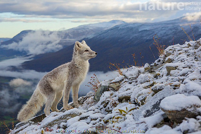 Arctic Fox (Alopex / Vulpes lagopus) standing on ridge, during moult from grey summer fur to winter white. Dovrefjell National Park, Norway, September., catalogue6,Animal,Vertebrate,Mammal,Carnivore,Canid,True fox,Arctic fox,Animalia,Animal,Wildlife,Vertebrate,Chordate,Mammalia,Mammal,Carnivora,Carnivore,Canidae,Canid,Vulpes,True fox,Vulpini,Caninae,Vulpes lagopus,Arctic fox,Polar fox,Blue fox,Ice fox,White fox,Alopex lagopus,Canis lagopus,Standing,Alertness,Alert,Anticipation,No One,Nobody,Ridge,Ridges,Europe,Northern Europe,North Europe,Nordic Countries,Scandinavia,Norway,Profile,Horizontal,Side View,Hair,Fur,Hill,Hills,Hillside,Hillsides,Mountain,Sky,Cloud,Low Cloud,Snow,Outdoors,Open Air,Outside,Winter,Day,Habitat,Animal Behaviour,Behaviour,Moults,Moult,Molting,Protected area,National Park,Dovrefjell National Park, Andy  Trowbridge