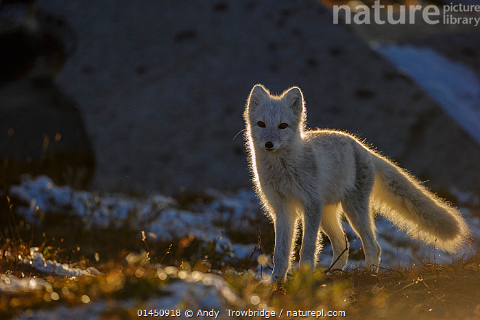 Arctic Fox (Alopex / Vulpes lagopus) backlit portrait, during moult from grey summer fur to winter white. Dovrefjell National Park, Norway, September., ANIMAL,VERTEBRATE,MAMMAL,CARNIVORE,CANID,TRUE FOX,ARCTIC FOX,ANIMALIA,ANIMAL,WILDLIFE,VERTEBRATE,CHORDATE,MAMMALIA,MAMMAL,CARNIVORA,CARNIVORE,CANIDAE,CANID,VULPES,TRUE FOX,VULPINI,CANINAE,VULPES LAGOPUS,ARCTIC FOX,POLAR FOX,BLUE FOX,ICE FOX,WHITE FOX,ALOPEX LAGOPUS,CANIS LAGOPUS,EUROPE,NORTHERN EUROPE,NORTH EUROPE,NORDIC COUNTRIES,SCANDINAVIA,SKANDINAVIA,NORWAY,HORIZONTAL,PORTRAIT,ANIMAL BEHAVIOUR,BEHAVIOUR,MOULTS,MOULT,MOLTING,PROTECTED AREA,NATIONAL PARK,NP,RESERVE, Andy  Trowbridge