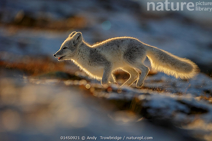 Arctic Fox (Alopex / Vulpes lagopus) running along ridge, backlit, during moult from grey summer fur to winter white. Dovrefjell National Park, Norway, September., ANIMAL,VERTEBRATE,MAMMAL,CARNIVORE,CANID,TRUE FOX,ARCTIC FOX,ANIMALIA,ANIMAL,WILDLIFE,VERTEBRATE,CHORDATE,MAMMALIA,MAMMAL,CARNIVORA,CARNIVORE,CANIDAE,CANID,VULPES,TRUE FOX,VULPINI,CANINAE,VULPES LAGOPUS,ARCTIC FOX,POLAR FOX,BLUE FOX,ICE FOX,WHITE FOX,ALOPEX LAGOPUS,CANIS LAGOPUS,RUNNING,EUROPE,NORTHERN EUROPE,NORTH EUROPE,NORDIC COUNTRIES,SCANDINAVIA,SKANDINAVIA,NORWAY,HORIZONTAL,ANIMAL BEHAVIOUR,BEHAVIOUR,MOULTS,MOULT,MOLTING,PROTECTED AREA,NATIONAL PARK,NP,RESERVE, Andy  Trowbridge
