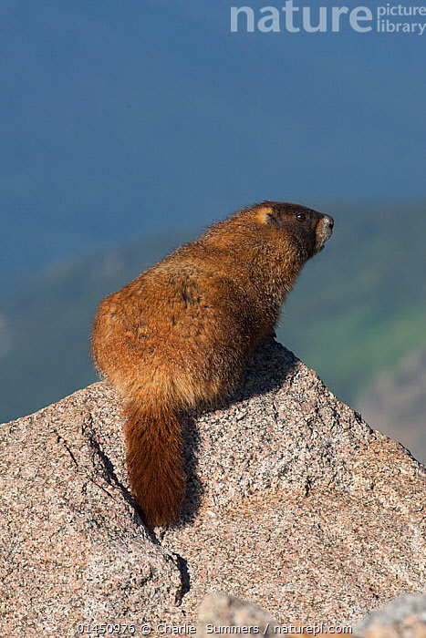 Yellow-bellied Marmot (Marmota flaviventris) Mt. Evans, Colorado, USA, July.  ,  ANIMAL,VERTEBRATE,MAMMAL,RODENT,MARMOT,YELLOW BELLIED MARMOT,ANIMALIA,ANIMAL,WILDLIFE,VERTEBRATE,CHORDATE,MAMMALIA,MAMMAL,RODENTIA,RODENT,SCIURIDAE,MARMOTA,MARMOT,MARMOTA FLAVIVENTRIS,YELLOW BELLIED MARMOT,NORTH AMERICA,USA,VERTICAL,MOUNTAIN,HABITAT  ,  Charlie  Summers