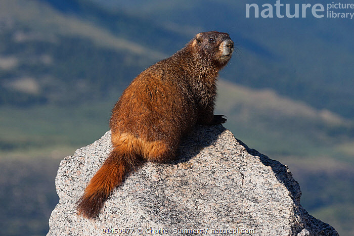 Yellow-bellied Marmot (Marmota flaviventris) Mt. Evans, Colorado, USA, July.  ,  ANIMAL,VERTEBRATE,MAMMAL,RODENT,MARMOT,YELLOW BELLIED MARMOT,ANIMALIA,ANIMAL,WILDLIFE,VERTEBRATE,CHORDATE,MAMMALIA,MAMMAL,RODENTIA,RODENT,SCIURIDAE,MARMOTA,MARMOT,MARMOTA FLAVIVENTRIS,YELLOW BELLIED MARMOT,NORTH AMERICA,USA,MOUNTAIN,HABITAT  ,  Charlie  Summers