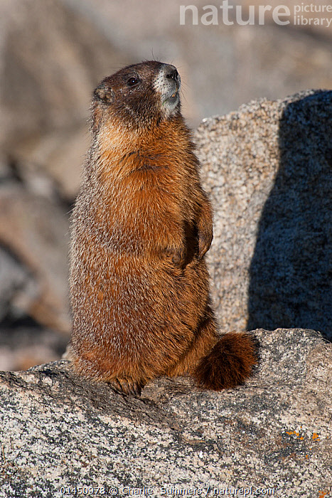 Yellow-bellied Marmot (Marmota flaviventris) standing on a Mt. Evans, Colorado, USA, July.  ,  ANIMAL,VERTEBRATE,MAMMAL,RODENT,MARMOT,YELLOW BELLIED MARMOT,ANIMALIA,ANIMAL,WILDLIFE,VERTEBRATE,CHORDATE,MAMMALIA,MAMMAL,RODENTIA,RODENT,SCIURIDAE,MARMOTA,MARMOT,MARMOTA FLAVIVENTRIS,YELLOW BELLIED MARMOT,NORTH AMERICA,USA,VERTICAL  ,  Charlie  Summers