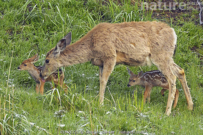 Mule Deer (Odocoileus hemionus) mother with newborn twins.   Yellowstone National Park, Wyoming, USA, June., ANIMAL,VERTEBRATE,MAMMAL,DEER,BLACK TAILED DEER,ANIMALIA,ANIMAL,WILDLIFE,VERTEBRATE,CHORDATE,MAMMALIA,MAMMAL,ARTIODACTYLA,EVEN TOED UNGULATES,CERVIDAE,DEER,TRUE DEER,RUMINANTIA,RUMINANT,ODOCOILEUS,ODOCOILEUS HEMIONUS,BLACK TAILED DEER,CEDROS ISLAND BLACK TAILED DEER,CEDROS ISLAND MULE DEER,MULE DEER,AMERICAS,NORTH AMERICA,USA,UNITED STATES OF AMERICA,US STATES,AMERICAN STATES,WESTERN USA,WYOMING,FEMALE ANIMAL,FEMALE,FEMALES,FEMALE ANIMALS,FAMILY,MOTHER BABY,MOTHER BABY,MOTHER,NP,National Park, George  Sanker