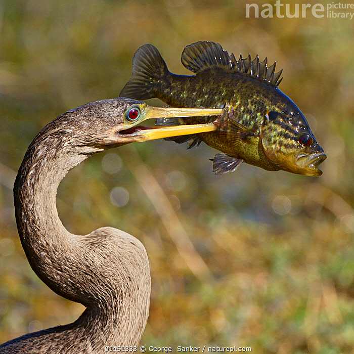 Anhinga (Anhinga anhinga) with large Bluegill Sunfish (Lepomis macrochirus) prey, Everglades National Park, Florida, USA, March., high1314,Animal,Vertebrate,Ray-finned fish,Percomorphi,Basslet,Bluegill,Bird,Birds,Phalacrocoraciformes,Darter,American darter,Vicious,American,Animalia,Animal,Wildlife,Vertebrate,Actinopterygii,Ray-finned fish,Osteichthyes,Bony fish,Fish,Perciformes,Percomorphi,Acanthopteri,Grammidae,Basslet,Lepomis,Lepomis macrochirus,Bluegill,Aves,Bird,Birds,Suliformes,Phalacrocoraciformes,Anhingidae,Darter,Snakebird,Anhinga,Anhinga anhinga,American darter,Surprise,Pain,Hurt,Hurting,Painful,Two,Nobody,Americas,North America,USA,Southern USA,Southeast US,Florida,Profile,Side View,Animal Necks,Neck,Necks,Beak,Beaks,Red Eye,Outdoors,Open Air,Outside,Day,Ferocious,Animal Behaviour,Predation,Hunting,Reserve,Death,Behaviour,Protected area,National Park,Food chain,Two animals,Everglades National Park,Prey,Vicious,Eye colour,American,Merciless,Freshwater, George  Sanker