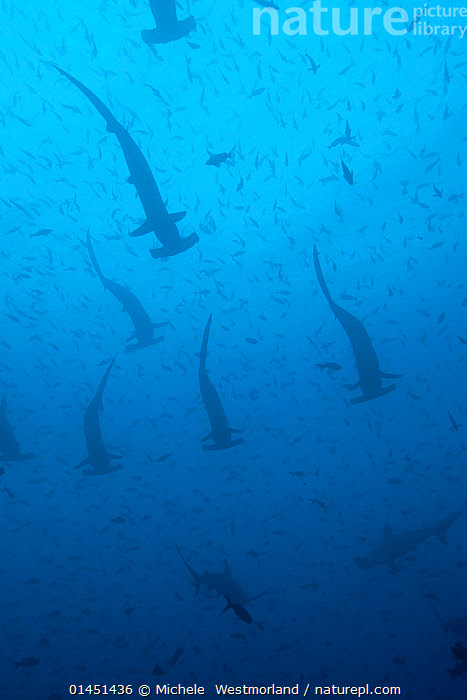 Large school of scalloped hammerhead sharks (Sphyrna lewini). Galapagos Islands.  ,  catalogue6,Animal,Vertebrate,Cartilaginous fish,Ground shark,Hammerhead sharks,Scalloped hammerhead shark,Animalia,Animal,Wildlife,Vertebrate,Chordate,Chondrichthyes,Cartilaginous fish,Jawed fish,Cacharhiniformes,Ground shark,Sphyrnidae,Hammerhead sharks,Hammerheads,Sphyrna,Sphyrna lewini,Scalloped hammerhead shark,Swimming,Waiting,Repetition,Unity,Colour,Blue,School,Many,Group,Large Group,No One,Nobody,Pattern,Patterned,Patterns,Natural Pattern,Natural Patterns,Americas,Latin America,South America,Galapagos Islands,Galapagos,The Galapagos,The Galapagos Islands,Full Frame,Low Angle View,Tropical,Ocean,Pacific Ocean,Marine,Underwater,Saltwater,Tropics,Multitude,Mass,Biodiversity hotspots,Biodiversity hotspot,Ventral view,Underside,Endangered species,threatened,Endangered,Marine  ,  Michele  Westmorland