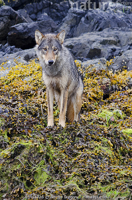 Nature Picture Library - Vancouver Island Grey wolf (Canis