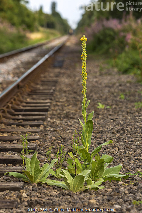 Great mullein (Verbascum thapsus) growing alongside railway line, Cambridgeshire, England, UK, August.  ,  PLANT,VASCULAR PLANT,FLOWERING PLANT,ASTERID,FIGWORT,MULLEIN,GREAT MULLEIN,PLANTAE,PLANT,TRACHEOPHYTA,VASCULAR PLANT,MAGNOLIOPSIDA,FLOWERING PLANT,ANGIOSPERM,SEED PLANT,SPERMATOPHYTE,SPERMATOPHYTINA,ANGIOSPERMAE,LAMIALES,ASTERID,DICOT,DICOTYLEDON,ASTERANAE,SCROPHULARIACEAE,FIGWORT,SCROFULAIRES,VERBASCUM,MULLEIN,VERBASCUM THAPSUS,GREAT MULLEIN,COMMON MULLEIN,BIG TAPER,VELVET DOCK,VELVET PLANT,WOOLLY MULLEIN,FLANNEL MULLEIN,AARON'S ROD,COLOUR,YELLOW,VERTICAL,PLANTS,VEGETATION,BLOOM,BLOOMING,BLOOMS,FLOWERING,FLOWERING PLANT,FLOWERING PLANTS,FLOWERS,BUILDINGS,INFRASTRUCTURES,TRANSPORTATION INFRASTRUCTURES,RAIL TRANSPORT INFRASTRUCTURES,RAILROAD STRUCTURES,RAILWAY STRUCTURE,RAILWAY STRUCTURES,RAILROAD TRACKS,RAILWAY LINE,RAILWAY LINES,RAILWAY TRACK,RAILWAY TRACKS,TRACK,TRACKS,TRAIN TRACK,TRAIN TRACKS,COLOR,Europe,United Kingdom  ,  Chris  Mattison