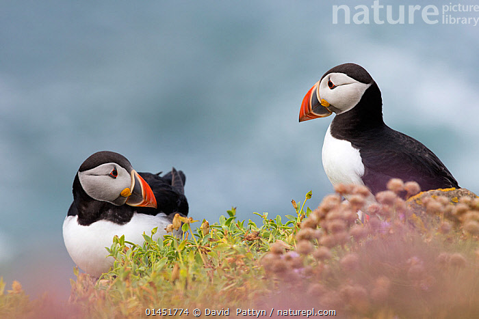 Two Puffins (Fratercula arctica)  looking at each other, among coastal thrift (Armeria maritima). Great Saltee, Saltee Islands, Co. Wexford, Ireland, June., IERLAND,IRELAND,SALTEE,EILAND,ISLAND,THRIFT SEAPINK,PUFFIN,ATLANTIC PUFFIN,PLANTAE,TRACHEOPHYTA,MAGNOLIOPSIDA,CARYOPHYLLALES,PLUMBAGINACEAE,ARMERIA,ARMERIA MARITIMA,THRIFT SEAPINK,SEA THRIFT,THRIFT SEA PINK,ANIMALIA,VERTEBRATE,AVES,CHARADRIIFORMES,ALCIDAE,FRATERCULA,PUFFIN,FRATERCULA ARCTICA,ATLANTIC PUFFIN,COMMON PUFFIN,EUROPE,WESTERN EUROPE,WEST EUROPE,REPUBLIC OF IRELAND,EMERALD ISLE,IRELAND,IRISH REPUBLIC,THE EMERALD ISLE,COASTLINE,COASTLINES,COAST,COASTAL, David  Pattyn