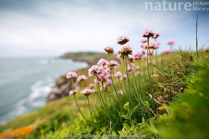Flowering Thrift (Armeria maritima) photographed on Great Saltee with a view of the island behind. Great Saltee, Saltee Islands, Co. Wexford, Ireland, June.  ,  catalogue6,Thrift seapink,Plantae,Tracheophyta,Magnoliopsida,Caryophyllales,Plumbaginaceae,Armeria,Armeria maritima,Thrift seapink,Sea thrift,Thrift sea pink,Resilience,Resilient,Growth,Grow,Growing,Grows,Colour,Blue,Green,Pink,Group,Large Group,Many,No One,Nobody,Europe,Western Europe,Republic Of Ireland,Camera Focus,Selective Focus,Focus On Foreground,Focus On Foregrounds,Soft Focus,Soft Focused,Plant,Flower,Cliff,Coastlines,Hill,Hills,Hillside,Hillsides,Landscape,Landscapes,Outdoors,Open Air,Outside,Day,Beautiful,Pretty,Coast,Marine,Coastal,Saltwater,Sea,Shallow depth of field,Low depth of field,Green colour,Saltee Islands,Large Group of Objects,Great Saltee,Concepts,,Pastel,  ,  David  Pattyn