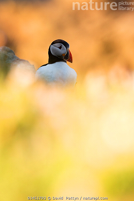 Puffin (Fratercula arctica )through soft focus vegetation. Great Saltee, Saltee Islands, County Wexford, Ireland, June., catalogue6,Puffin,Atlantic puffin,Animalia,Vertebrate,Aves,Charadriiformes,Alcidae,Fratercula,Puffin,Fratercula arctica,Atlantic puffin,Common puffin,Glance,Glances,Glancing,Look Away,Looks Away,Rejection,Loneliness,Alone,Lonely,Solitude,Solitary,Lost,No One,Nobody,Europe,Western Europe,Republic Of Ireland,Vertical,Camera Focus,Soft Focus,Soft Focused,Animal,Coastlines,Outdoors,Open Air,Outside,Day,Coast,Coastal,Saltee Islands,Great Saltee, David  Pattyn
