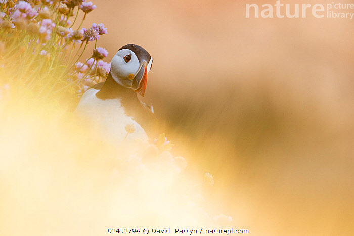 Puffin (Fratercula arctica) through soft focus vegetation. Great Saltee, Saltee Islands, County Wexford, Ireland, June., catalogue6,Puffin,Atlantic puffin,Animalia,Vertebrate,Aves,Charadriiformes,Alcidae,Fratercula,Puffin,Fratercula arctica,Atlantic puffin,Common puffin,Glance,Glances,Glancing,Look Away,Looks Away,Hope,No One,Nobody,Europe,Western Europe,Republic Of Ireland,Copy Space,Camera Focus,Soft Focus,Soft Focused,Coastlines,Outdoors,Open Air,Outside,Day,Coast,Coastal,Negative space,Saltee Islands,Tilted Image,Great Saltee, David  Pattyn