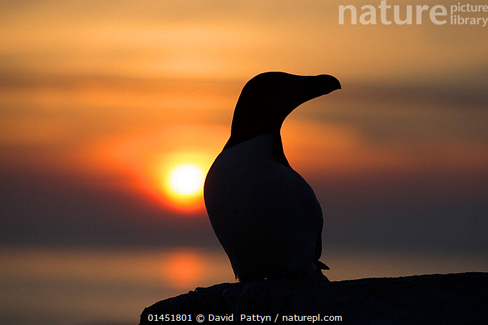 Razorbill (Alca torda) silhouette portrait, sitting at the edge of a cliff at sunset. Great Saltee, Saltee Islands, Co. Wexford, Ireland, June., RAZORBILL,ANIMALIA,VERTEBRATE,AVES,CHARADRIIFORMES,ALCIDAE,ALCA,RAZORBILL,ALCA TORDA,SITTING,SEATED,SIT,SITS,SITTING DOWN,EUROPE,WESTERN EUROPE,WEST EUROPE,REPUBLIC OF IRELAND,EMERALD ISLE,IRELAND,IRISH REPUBLIC,THE EMERALD ISLE,PORTRAIT,PORTRAITS,COASTLINE,COASTLINES,TWILIGHT,EVENING,DUSK,EVENINGS,COAST,COASTAL,SILHOUETTE,THE SUN, David  Pattyn