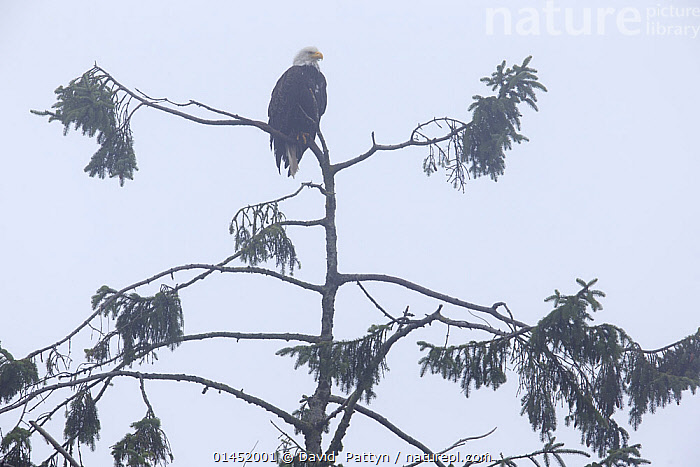 American bald eagle (Haliaeetus leucocephalus) sitting in a tree on a misty, foggy day. Vancouver Island, British Columbia, Canada, August., ANIMAL,VERTEBRATE,BIRDS,SEA EAGLE,AMERICAN BALD EAGLE,ANIMALIA,ANIMAL,WILDLIFE,VERTEBRATE,CHORDATE,AVES,BIRDS,ACCIPITRIFORMES,ACCIPITRIDAE,HALIAEETUS,SEA EAGLE,EAGLE,BIRD OF PREY,RAPTOR,HALIAEETUS LEUCOCEPHALUS,AMERICAN BALD EAGLE,AMERICAN EAGLE,WHITE HEADED SEA EAGLE,BALD EAGLE,PERCHING,PERCH,PERCHED,PERCHES,SITTING,SEATED,SIT,SITS,SITTING DOWN,AMERICAS,NORTH AMERICA,CANADA,BRITISH COLUMBIA,VANCOUVER,WEATHER,MIST,DIM,FOG,FOGGY,FOGS,HAZE,HAZY,MISTINESS,MISTS,MISTY,ANIMAL BEHAVIOUR,BEHAVIOUR, David  Pattyn