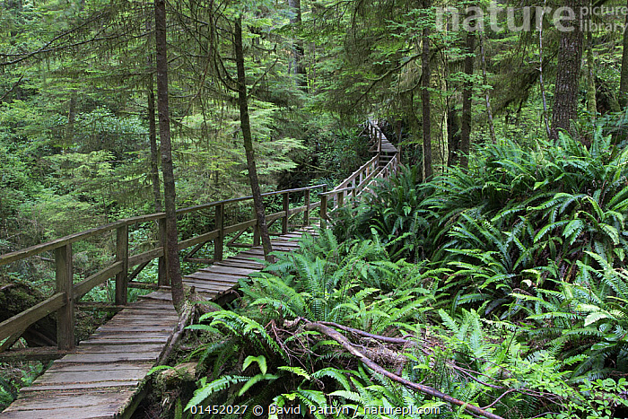 Temperate rainforest scenic with ancient Red cedar trees (Thuja plicata) and a forest trail walkway for visitors. Pacific Rim National Park, Vancouver Island, British Columbia, Canada, August., PLANT,VASCULAR PLANT,CONIFER,CYPRESS,ARBORVITAE,WESTERN REDCEDAR,PLANTAE,PLANT,TRACHEOPHYTA,VASCULAR PLANT,PINOPSIDA,CONIFER,GYMNOSPERM,SPERMATOPHYTE,PINOPHYTA,CONIFEROPHYTA,CONIFERAE,SPERMATOPHYTINA,GYMNOSPERMAE,CUPRESSALES,CUPRESSACEAE,CYPRESS,THUJA,ARBORVITAE,SHAPE,TRACK,TRAIL,AMERICAS,NORTH AMERICA,CANADA,BRITISH COLUMBIA,VANCOUVER,TREE TRUNK,TREE TRUNKS,THOROUGHFARE,PATH,FOREST,RAINFOREST,TEMPERATE RAINFOREST,PACIFIC REDCEDAR,WESTERN REDCEDAR,WESTERN ARBORVITAE,GIANT CEDAR,SHINGLEWOOD, David  Pattyn