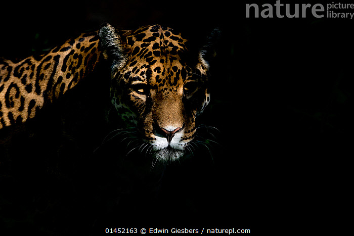 Female Jaguar (Panthera onca), captive, occurs in Southern and Central America.  ,  catalogue6,Animal,Vertebrate,Mammal,Carnivore,Cat,Big cat,Jaguar,Animalia,Animal,Wildlife,Vertebrate,Chordate,Mammalia,Mammal,Carnivora,Carnivore,Felidae,Cat,Panthera,Big cat,Panthera onca,Jaguar,Atmospheric Mood,Atmospheric,Sinister,Threat,Menace,Menaces,Menacing,Threatening,Threats,Colour,Black,No One,Nobody,Americas,Latin America,South America,Central America,Copy Space,Plain Background,Black Background,Portrait,Shadow,Outdoors,Open Air,Outside,Day,Direct Gaze  ,  Edwin  Giesbers