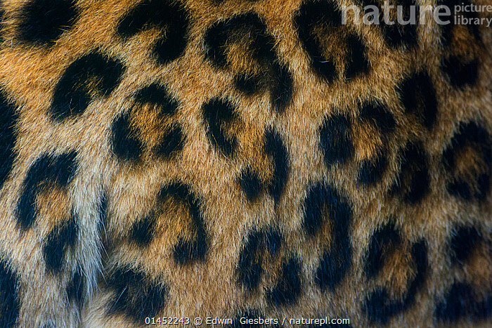 Close-up of the spot pattern on skin / fur of a female Persian leopard (Panthera pardus saxicolor), captive, occurs in the Caucasus, Turkmenistan and Afghanistan.  ,  catalogue6,Animal,Vertebrate,Mammal,Carnivore,Cat,Big cat,Leopard,Persian Leopard,Animalia,Animal,Wildlife,Vertebrate,Chordate,Mammalia,Mammal,Carnivora,Carnivore,Felidae,Cat,Panthera,Big cat,Panthera pardus,Leopards,No One,Nobody,Pattern,Patterned,Patterns,Spotted,Asia,Central Asia,Turkmenistan,Afghanistan,Afghan,Middle East,Turkey,Iran,Persia,Full Frame,Close Up,Female animal,Hair,Fur,Outdoors,Open Air,Outside,Day,Backgrounds,Background,Conservation,Leopard,Persian Leopard,North Persian Leopard,Central Asian Leopard,Caucasian Leopard,West Asian Leopard,Caucasus,Biodiversity hotspots,Biodiversity hotspot  ,  Edwin  Giesbers