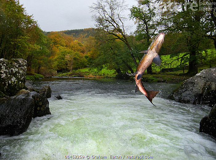 Salmon / Trout fish (Salmo sp) jumping a waterfall on the Afon Lledr, Betws Y Coed, Wales, October  ,  catalogue6,Animal,Vertebrate,Ray finned fish,Percomorphi,Salmonid,Animalia,Animal,Wildlife,Vertebrate,Chordate,Actinopterygii,Ray finned fish,Osteichthyes,Bony fish,Fish,Perciformes,Percomorphi,Acanthopteri,Salmonidae,Salmonid,Salmo,Migrating,Migration,Jumping,Agility,Agile,Determination,Effort,Exertion,Trying,Motion,Active,Movement,On The Move,Survival,Mid Air,No One,Nobody,Europe,Western Europe,UK,Great Britain,Wales,Low Angle View,Flowing Water,Waterfall,Cascade,Cascades,Waterfalls,River,Countryside,Landscape,Landscapes,Outdoors,Open Air,Outside,Day,Freshwater,Habitat,Animal Behaviour,Behaviour,Conwy,Ventral view,Underside,Moving,Afon Lledr,United Kingdom  ,  Graham  Eaton