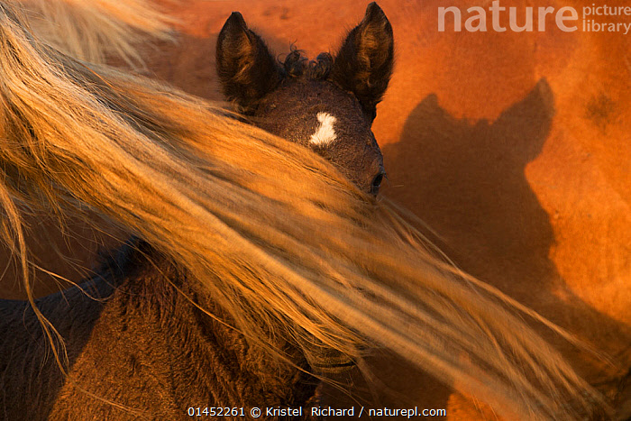 Portrait of a rare five-day old Posavina filly hidden by her mother's tail, Lonja, Croatia, August.  ,  catalogue6,Equus ferus caballus,Equus caballus,Hiding,Cute,Adorable,Protection,Colour,Brown,Two,No One,Nobody,Europe,Southern Europe,South Europe,Croatia,Animal,Young Animal,Juvenile,Babies,Baby Mammal,Baby Mammals,Foal,Foals,Fillies,Female animal,Ear,Animal Ears,Ears,Tail,Shadow,Outdoors,Open Air,Outside,Day,Domestic animal,Domestic Horse,Family,Mother baby,Mother baby,mother,Posavac horse,Domestic animals,Young,Domesticated,Equus ferus caballus,Equus caballus,Horse,Baby,Two animals,Parent baby,Hues,Ears Pricked,Protector  ,  Kristel  Richard