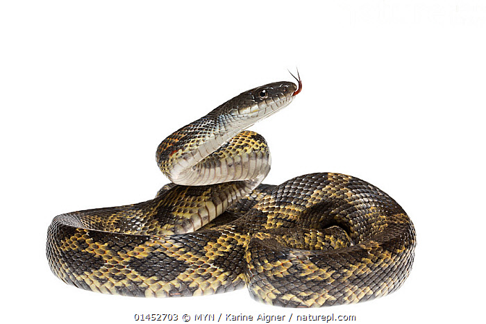 Nature Picture Library - Texas Rat Snake (Elaphe obsolete
