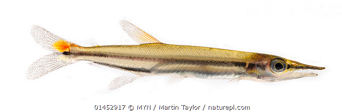 Smallscale Pike Characin (Acestrorhynchus isalineae) close to Presidente Figueiredo, Brazil. Meetyourneighbours.net project Meetyourneighbours.net project  ,  ANIMAL,VERTEBRATE,RAY FINNED FISH,SMALLSCALE PIKE CHARACIN,ANIMALIA,ANIMAL,WILDLIFE,VERTEBRATE,CHORDATE,ACTINOPTERYGII,RAY FINNED FISH,OSTEICHTHYES,BONY FISH,FISH,CHARACIFORMES,LATIN AMERICA,SOUTH AMERICA,BRAZIL,CUTOUT,PLAIN BACKGROUND,WHITE BACKGROUND,PROFILE,TROPICAL,FRESHWATER,WATER,MYN,MEET YOUR NEIGHBOURS,SMALLSCALE PIKE CHARACIN  ,  MYN / Martin Taylor