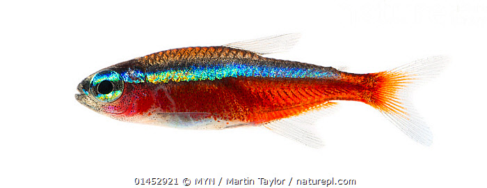 Cardinal tetra (Paracheirodon axelrodi) close to Santa Isabel do Rio Negro, Brazil  ,  ANIMAL,VERTEBRATE,RAY FINNED FISH,CHARACINS,CARDINAL TETRA,ANIMALIA,ANIMAL,WILDLIFE,VERTEBRATE,CHORDATE,ACTINOPTERYGII,RAY FINNED FISH,OSTEICHTHYES,BONY FISH,FISH,CHARACIFORMES,CHARACIDAE,CHARACINS,PARACHEIRODON,PARACHEIRODON AXELRODI,CARDINAL TETRA,HYPHESSOBRYCON CARDINALIS,CHEIRODON AXELRODI,LATIN AMERICA,SOUTH AMERICA,BRAZIL,CUTOUT,PLAIN BACKGROUND,WHITE BACKGROUND,PROFILE,HORIZONTAL,TROPICAL,FRESHWATER,WATER,MYN,MEET YOUR NEIGHBOURS,FRESHWATER  ,  MYN / Martin Taylor