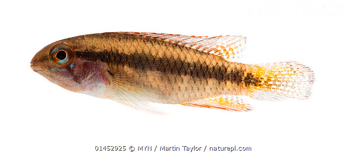 Cichlid (Apistogramma sp.) close to Santa Isabel do Rio Negro, Brazil. Meetyourneighbours.net project  ,  ANIMAL,VERTEBRATE,RAY FINNED FISH,PERCOMORPHI,CICHLID,ANIMALIA,ANIMAL,WILDLIFE,VERTEBRATE,CHORDATE,ACTINOPTERYGII,RAY FINNED FISH,OSTEICHTHYES,BONY FISH,FISH,PERCIFORMES,PERCOMORPHI,ACANTHOPTERI,CICHLIDAE,CICHLID,CICHLID FISH,LATIN AMERICA,SOUTH AMERICA,BRAZIL,CUTOUT,PLAIN BACKGROUND,WHITE BACKGROUND,PROFILE,HORIZONTAL,TROPICAL,FRESHWATER,WATER,MYN,MEET YOUR NEIGHBOURS,FRESHWATER  ,  MYN / Martin Taylor
