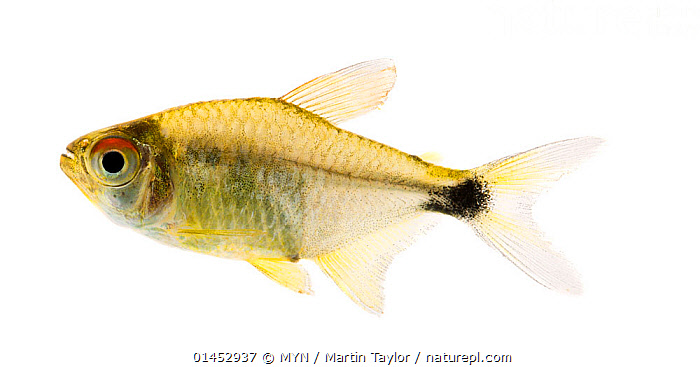 Pretty tetra (Hemigrammus pulcher) close to Manacapuru, Brazil. Meetyourneighbours.net project  ,  Animal,Vertebrate,Ray finned fish,Characins,Pretty tetra,Animalia,Animal,Wildlife,Vertebrate,Chordate,Actinopterygii,Ray finned fish,Osteichthyes,Bony fish,Fish,Characiformes,Characidae,Characins,Hemigrammus,Latin America,South America,Brazil,Cutout,Plain Background,White Background,Profile,Horizontal,Tropical,Freshwater,Water,MYN,Meet your Neighbours,Pretty tetra  ,  MYN / Martin Taylor