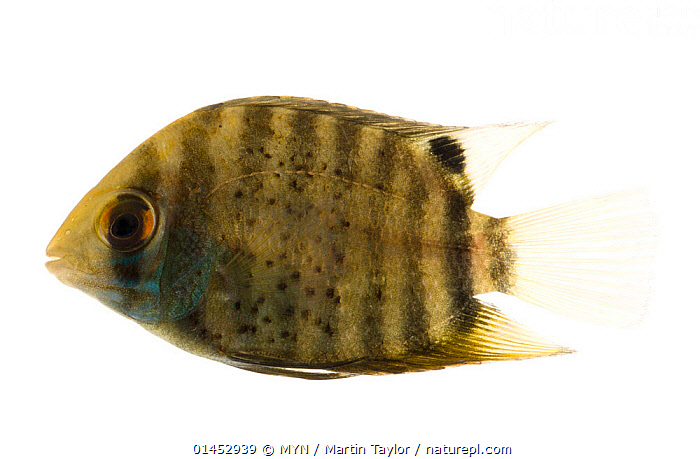 Banded cichlid (Heros severus) close to Manacapuru, Brazil. Meetyourneighbours.net project  ,  ANIMAL,VERTEBRATE,RAY FINNED FISH,PERCOMORPHI,CICHLID,BANDED CICHLID,ANIMALIA,ANIMAL,WILDLIFE,VERTEBRATE,CHORDATE,ACTINOPTERYGII,RAY FINNED FISH,OSTEICHTHYES,BONY FISH,FISH,PERCIFORMES,PERCOMORPHI,ACANTHOPTERI,CICHLIDAE,CICHLID,CICHLID FISH,HEROS,HEROS SEVERUS,BANDED CICHLID,CICHLASOMA SEVERUM,PATTERN,PATTERNED,PATTERNS,STRIPES,LATIN AMERICA,SOUTH AMERICA,BRAZIL,CUTOUT,PLAIN BACKGROUND,WHITE BACKGROUND,PROFILE,HORIZONTAL,TROPICAL,FRESHWATER,WATER,MYN,MEET YOUR NEIGHBOURS,FRESHWATER  ,  MYN / Martin Taylor