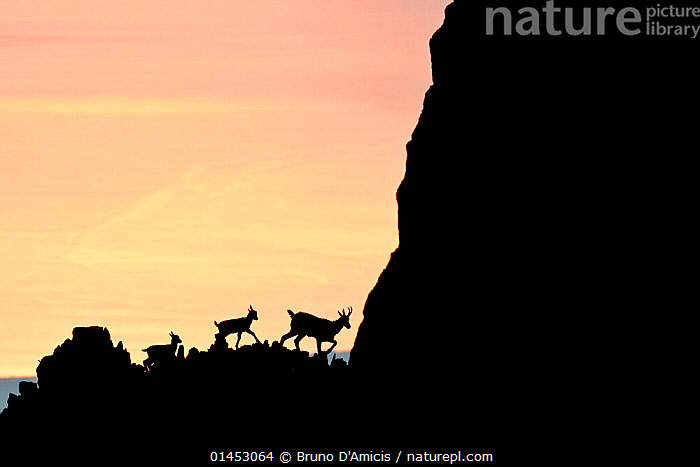 Apennine chamois (Rupicapra pyrenaica ornata) female and kids silhouetted against the waters of Adriatic Sea at sunrise. Endemic to the Apennine mountains. Majella National Park. Abruzzo, Italy, July., catalogue6,Animal,Vertebrate,Mammal,Bovid,Chamois,Abruzzo Chamois,Animalia,Animal,Wildlife,Vertebrate,Chordate,Mammalia,Mammal,Artiodactyla,Even toed ungulates,Bovidae,Bovid,ruminantia,Ruminant,Rupicapra,Chamois,Rupicapra pyrenaica,Abruzzo Chamois,Apennine Chamois,Southern Chamois,Moving After,Following,Follow,Follows,Walking,Leadership,Obedience,On The Move,Colour,Yellow,Few,Three,Group,No One,Nobody,Europe,Southern Europe,South Europe,Italy,Abruzzo,Copy Space,Profile,Side View,Back Lit,Backlit,Young Animal,Juvenile,Babies,Female animal,Cliff,Mountain,Sky,Mediterranean Sea,Adriatic Sea,Adriatic,Sunrise,Outdoors,Open Air,Outside,Twilight,Evening,Night,Day,Marine,Silhouette,Family,Mother baby,Saltwater,Mother baby,mother,Sea,Young,Endemic,Mediterranean,Protected area,National Park,Dawn,Dusk,Baby,Parent baby,Three Animals,Moving,Apennine Mountains,Majella National Park, Bruno D'Amicis