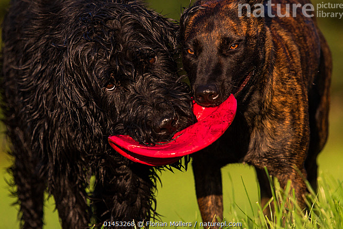 Giant Schnauzer x Hovawart dog and Maliois Herder x Dutch shepherd playing tug of war with Frisbee, Germany, September., CANIS FAMILIARIS,TWO,EUROPE,WESTERN EUROPE,WEST EUROPE,GERMANY,ANIMAL,CROSSBREEDS,MIXED BREED,MIXED BREEDS,OUTDOORS,OPEN AIR,OUTSIDE,ANIMAL BEHAVIOUR,PLAYING,DOMESTIC ANIMAL,PET,BEHAVIOUR,2,DOMESTIC DOG,DOMESTIC ANIMALS,DOMESTICATED,PLAYS,PLAY,PLAYFUL,CANIS FAMILIARIS,Communication, Florian Möllers